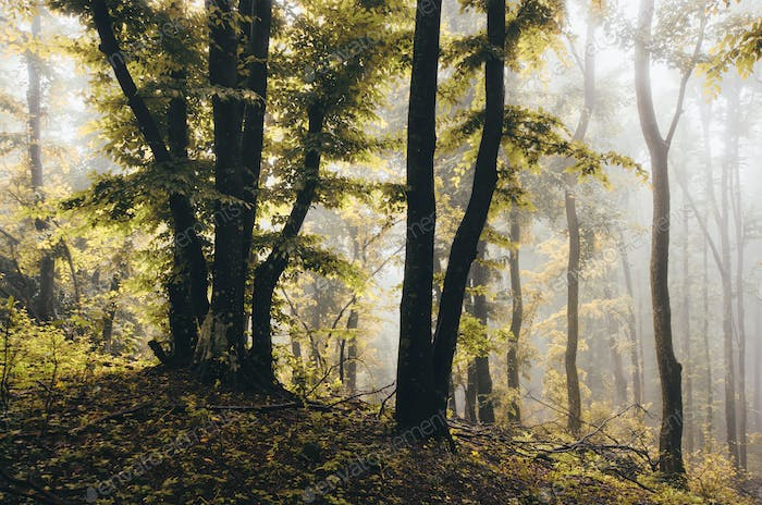 Colorful trees in foggy woods. Rainy day autumn landscape