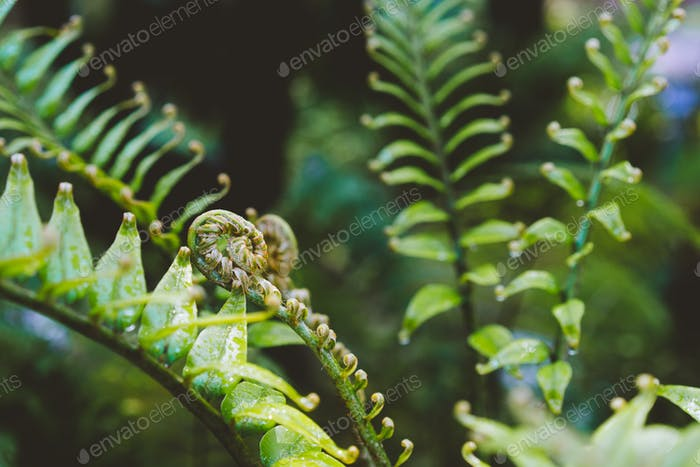 Fern fiddlehead unfurling with selective focus in new leaf