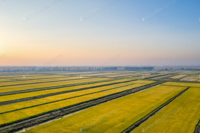 aerial view of autumn rice fields in sunset