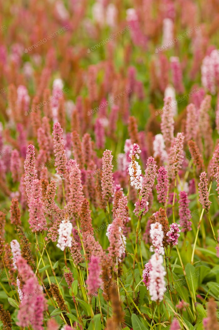 Plantain pink flowers