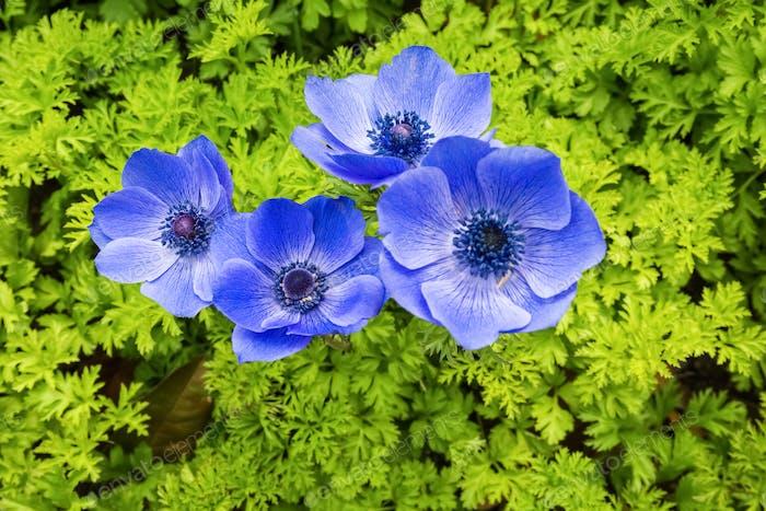 blaue Anemone Coronaria