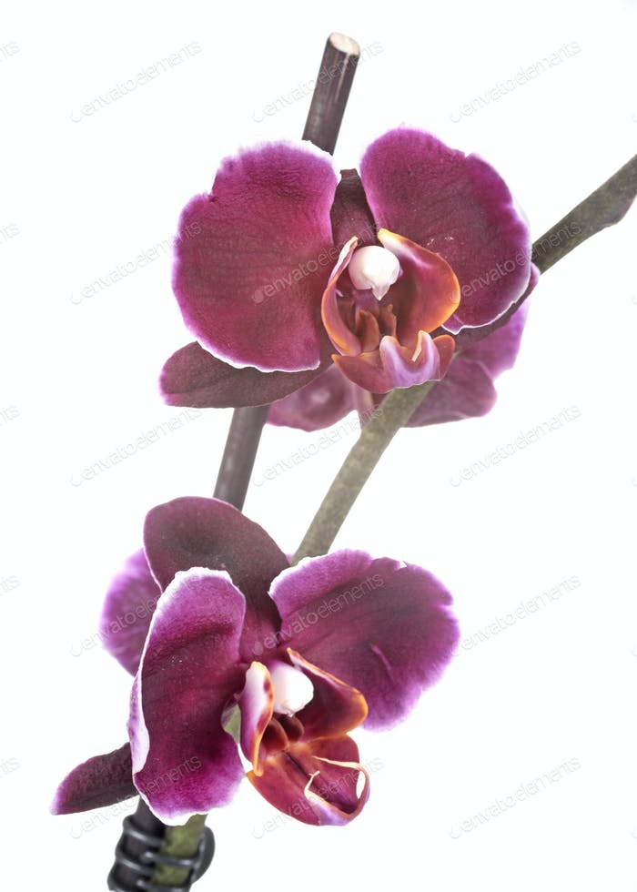 moth orchids in studio