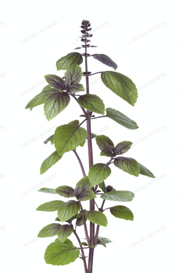Fresh red basil plant