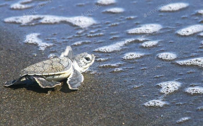 Baby Sea Turtle Reaching the Ocean