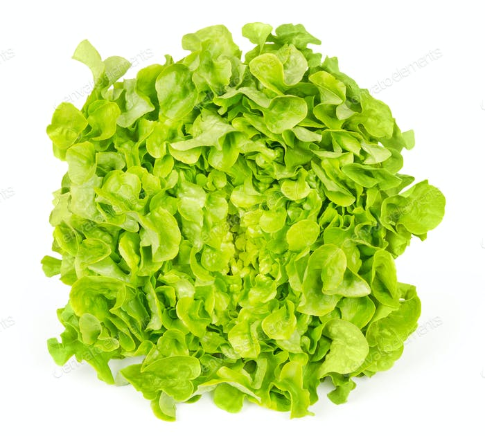 Green oak leaf lettuce front view over white