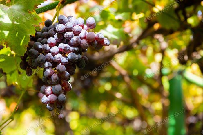 Close-Up Of Grape Bunch At Organic Vineyard