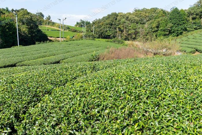 Beautiful tea tree plantation