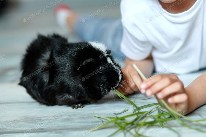 Kleines Mädchen hält und füttert schwarze Meerschweinchen, Haustier.
