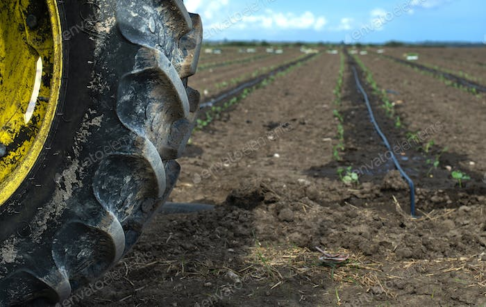 Tractor tire seedlings in rows on the agriculture land. Planting