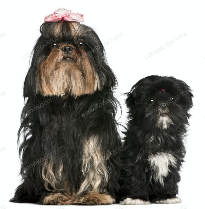 Shih Tzu, 5 years old, and Shih Tzu puppy, 5 months old, sitting in front of white background