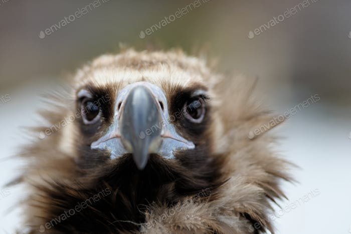 Vulture close-up portrait