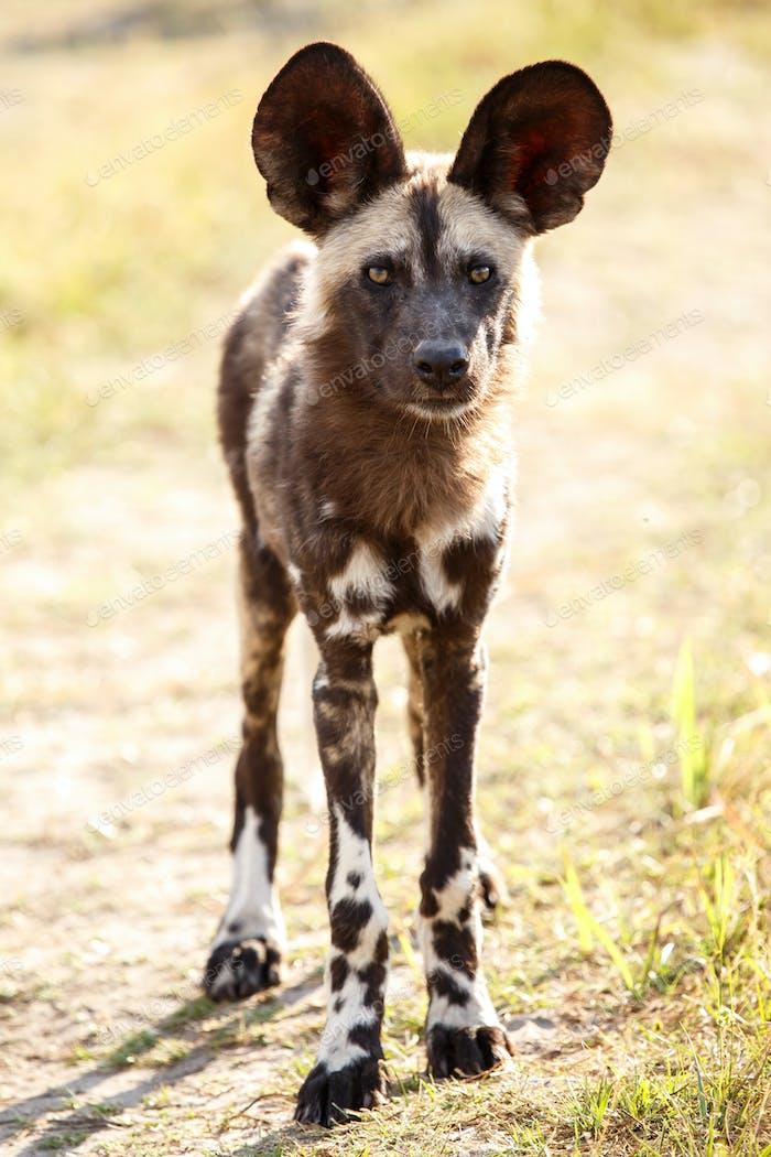 Thumbnail for Wild Dog - Okavango Delta - Moremi N.P.