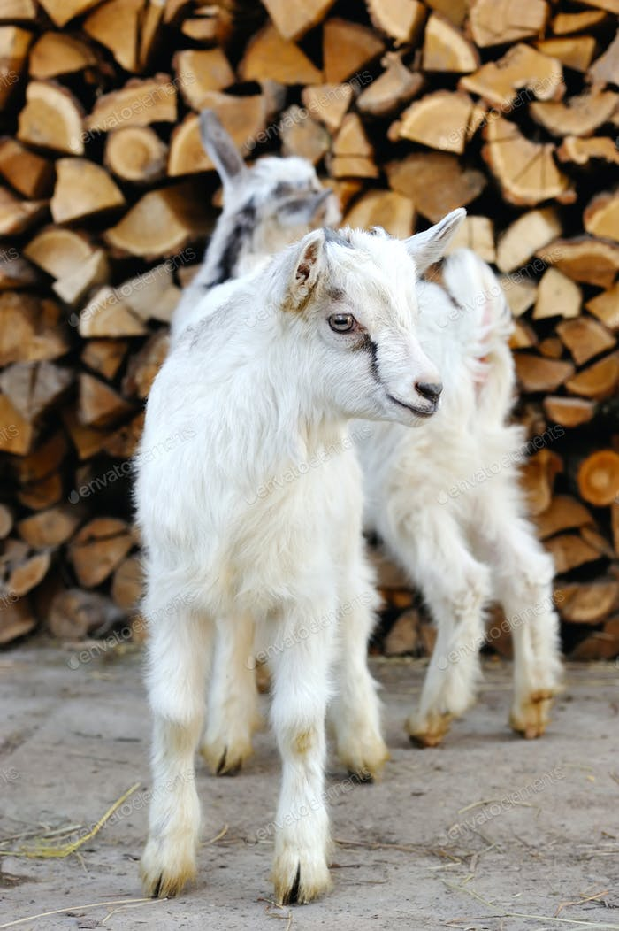 Two young goatlings standing on the farm yard
