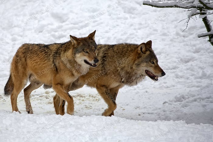 Wolves in winter
