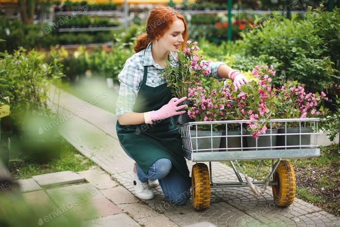 Florist in apron and pink gloves dreamily working with flowers in garden cart in greenhouse