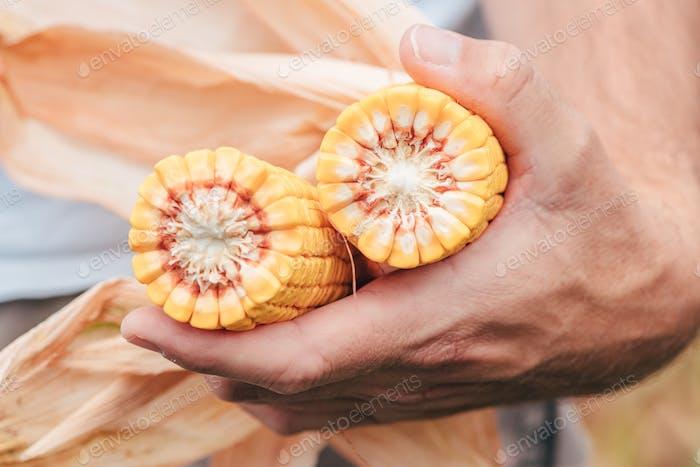 Agronomist hält Mais auf dem Kolben auf dem Feld