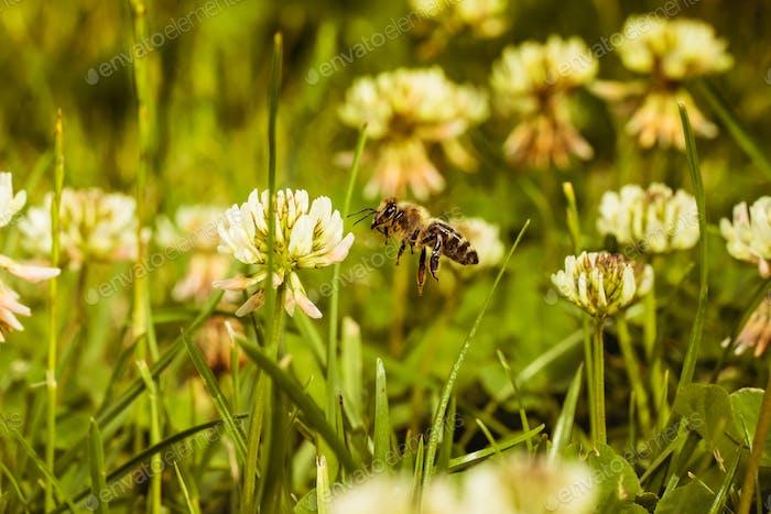 bee collecting pollen in flight mid air