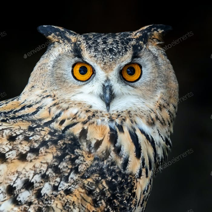 Close up owl portrait