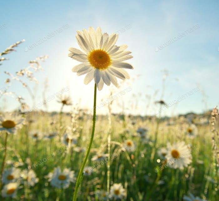 Frühling Gänseblümchen Porträt und Sonnenschein.