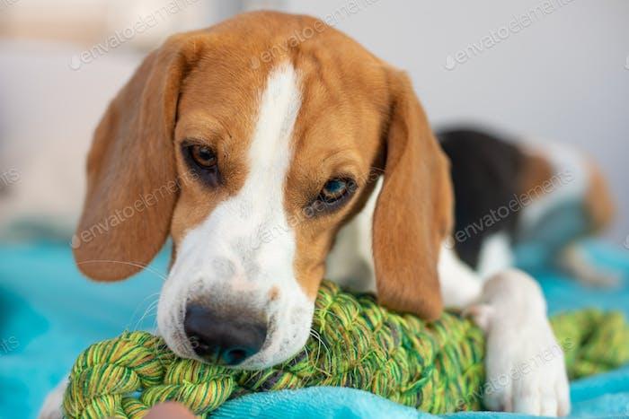 Beagle Hund Spaß im Garten draußen kauen auf Knoten Seil