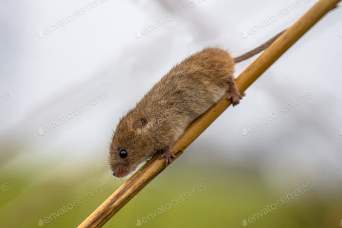 Harvesting mouse on stick of reed