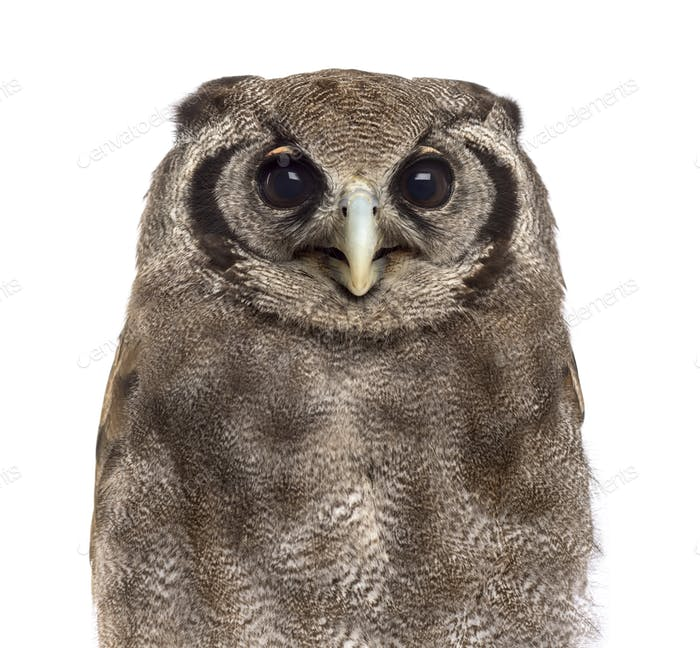 Close-up of a Verreaux's eagle-owl - Bubo lacteus (3 years old) in front of a white background