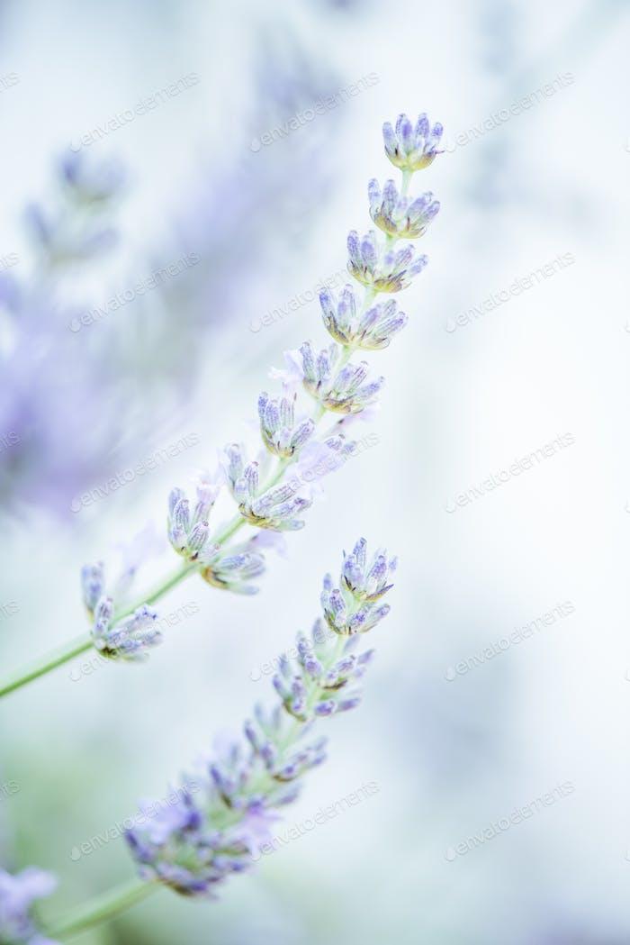 selective focus lavender image