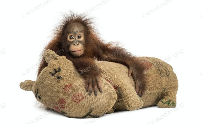 Young Bornean orangutan hugging its burlap stuffed toy, Pongo pygmaeus, 18 months old