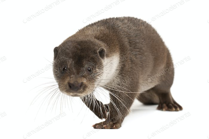 European Otter, Lutra lutra, 6 years old, walking against white background