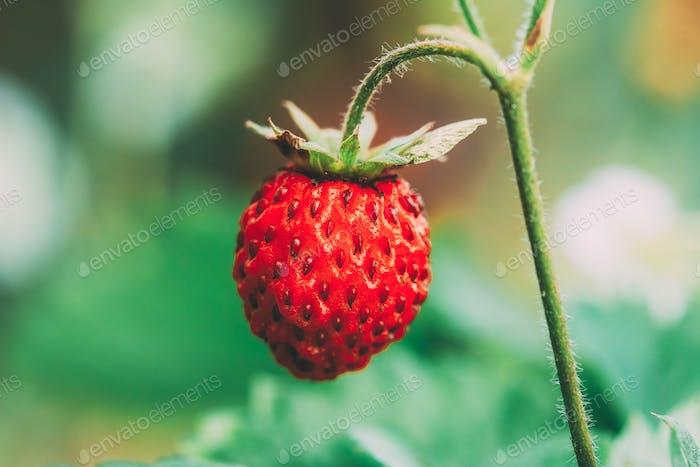 Rote Wilderdbeeren, Wilderdbeere. Wachsende Bio-Wild-Str  .