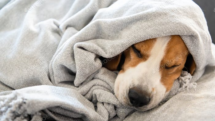Dog on a sofa under the blanket after bath drying fur
