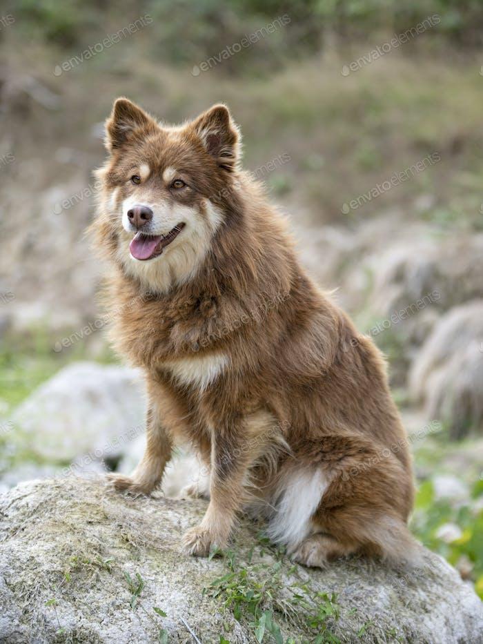 Finnish Lapphund in nature