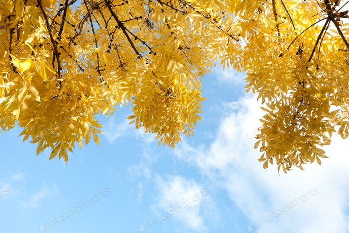 Autumn yellow leaves in blue sky background