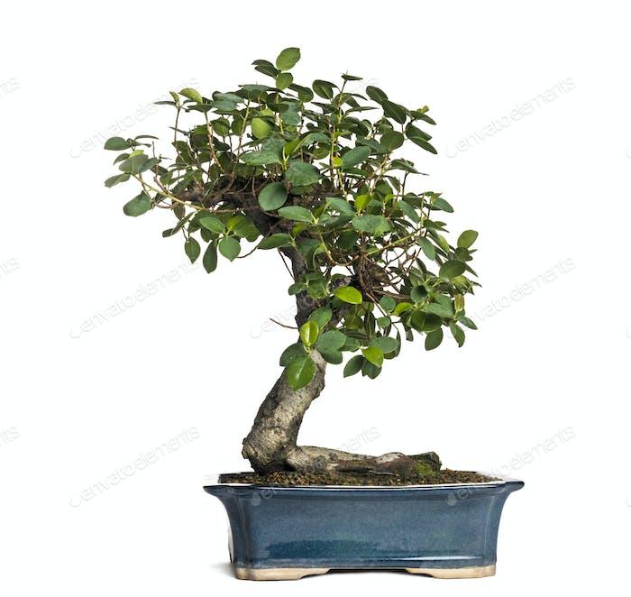 Ficus panda bonsai tree, ficus retusa, isolated on white