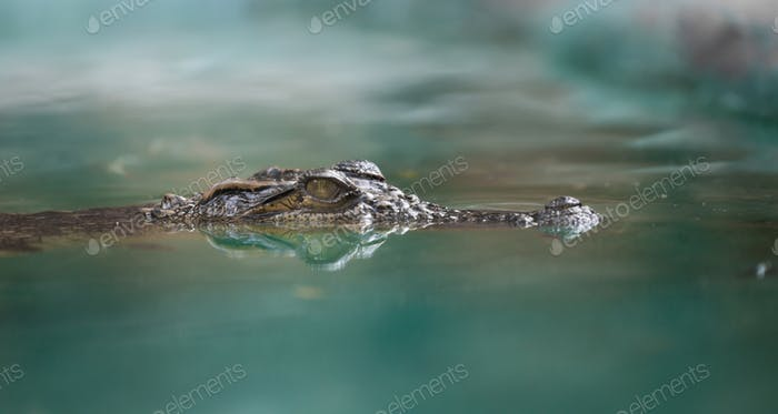 crocodile face and reflection in  water