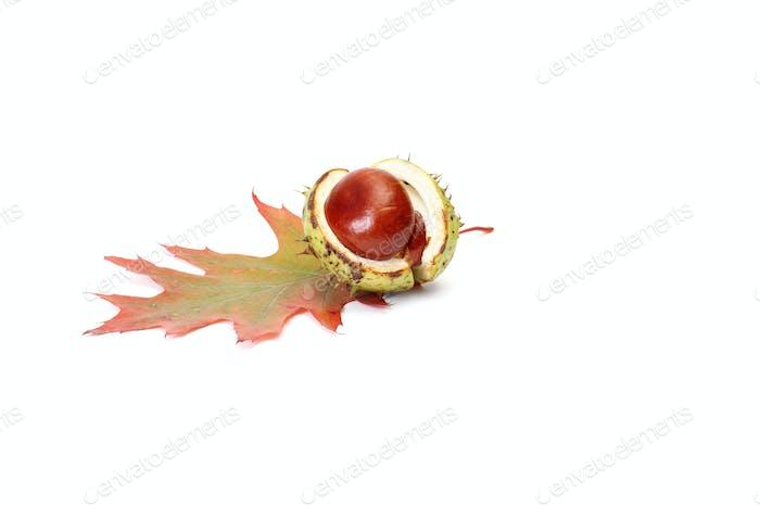 Wonderful chestnut and leaf on a white.