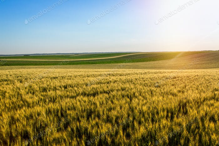 Wheat field over sky with sundown. Nature landscape. Lens flare