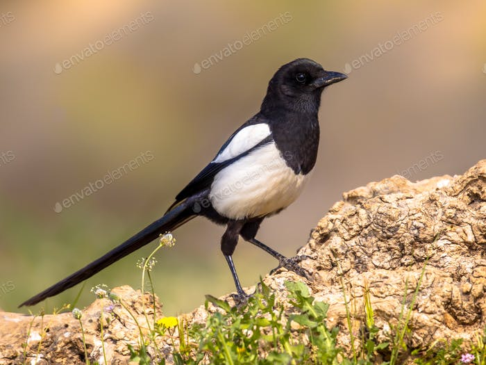 Eurasian Magpie perched