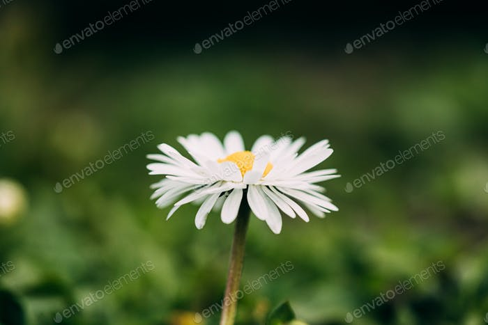 Blooming Wild Flower Matricaria Chamomilla Or Matricaria Recutita Or Chamomile. Commonly Known As