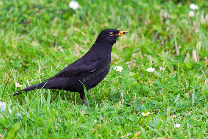 Common blackbird or Turdus merula