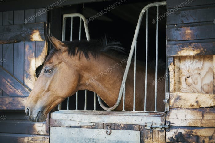 A racing thoroughbred horse with head out of the stable door.