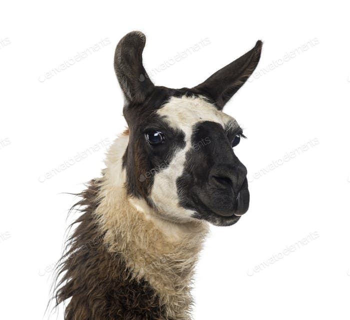 Close-up of a Llama