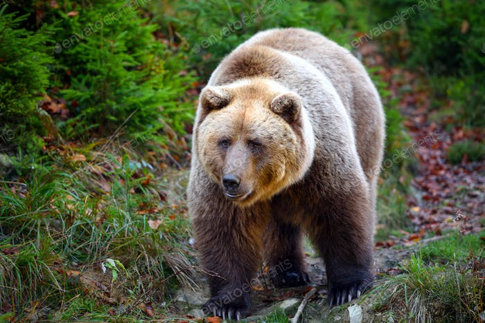 European brown bear in the autumn forest. Big brown bear in forest.