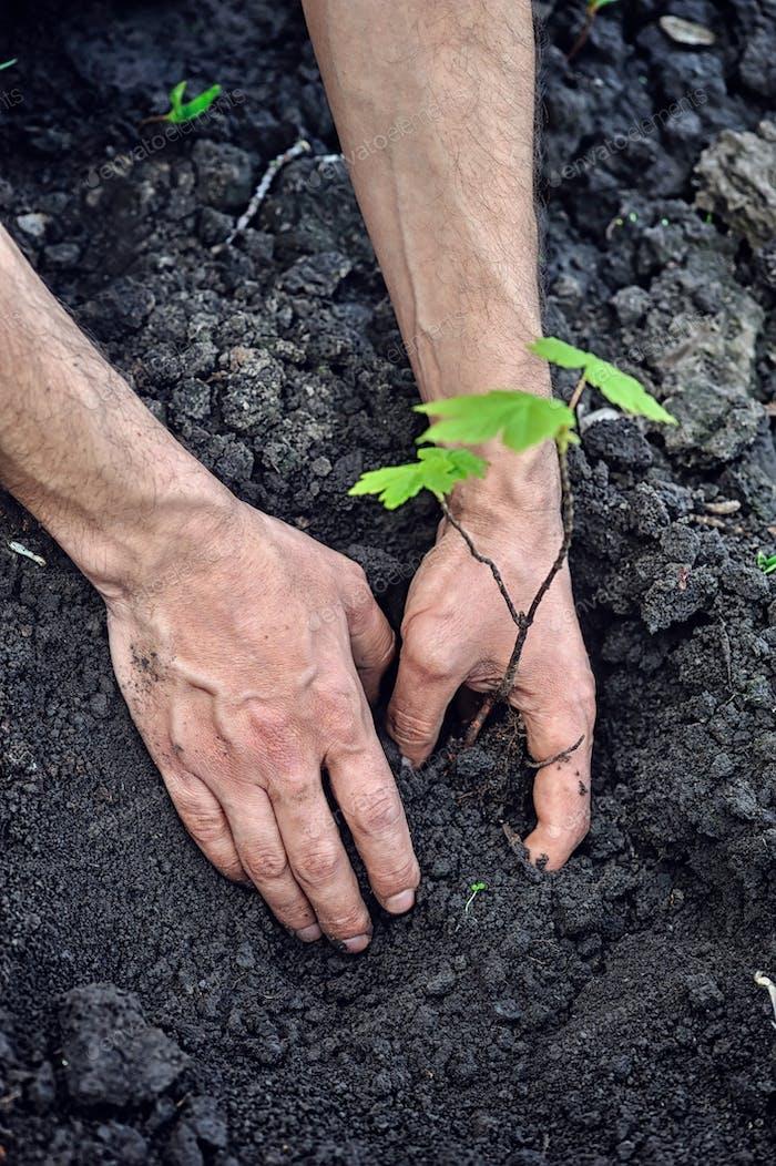 Gärtner, der einen jungen Baum in den Boden pflanzt. Nahaufnahme Hand der