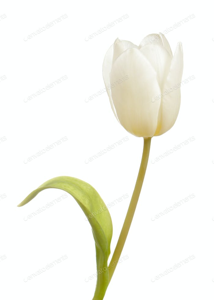 White tulip flower