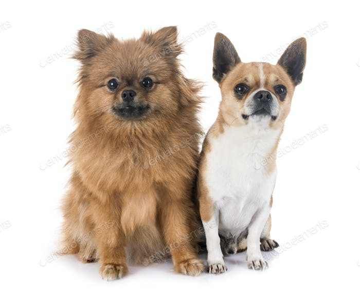 chihuahua and pitz in studio