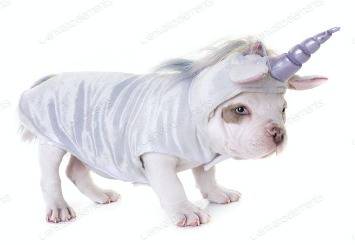 puppy american bully unicorn