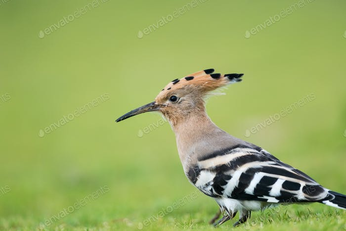 beautiful eurasian hoopoe bird head closeup