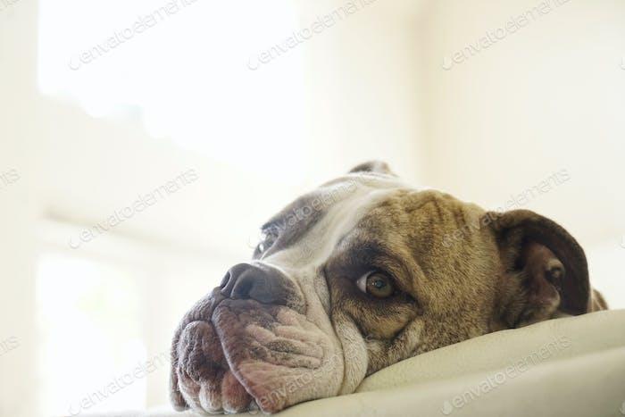 Old English bulldog, a pedigree dog resting his head on a cushion looking alert.