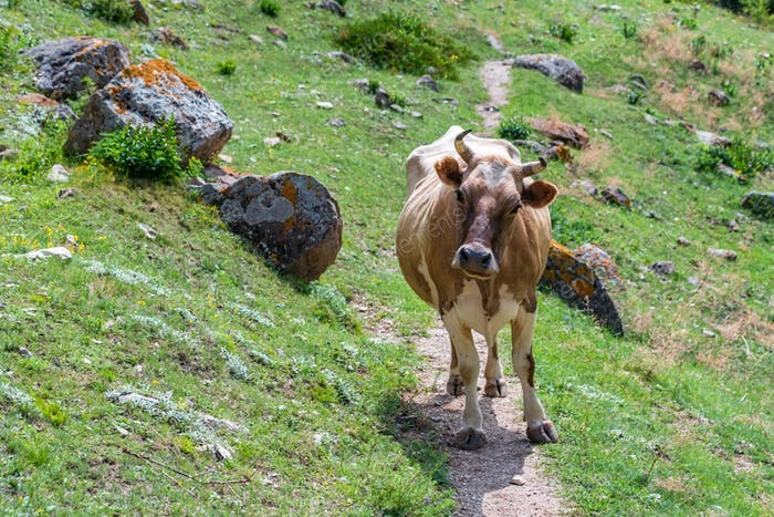 Portrait of brown cow walking on mountain road
